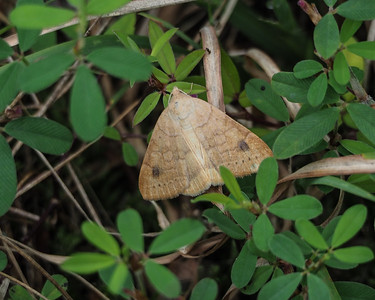 Vetch Looper Moth