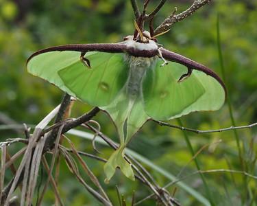 Luna Moth  7758