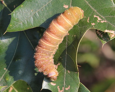 Luna Moth Caterpillar 7758