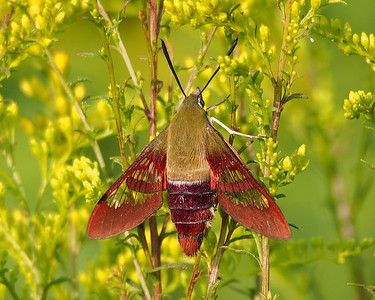 Hummingbird Clearwing (7853: Hemaris thyspe)