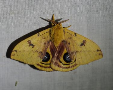 IO Moth - 7746