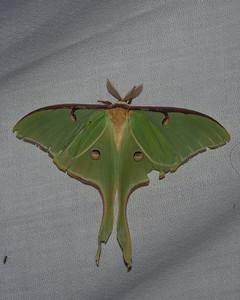 Luna Moth - 7758