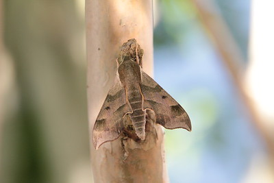 Virginia Creeper Sphinx (7885:  Darapsa myron)