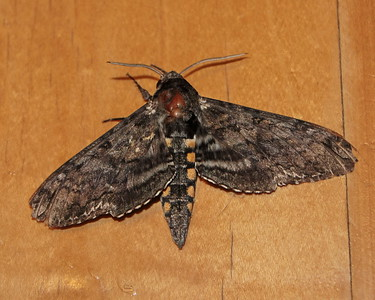 Carolina Sphinx (7775: Manduca sexta)