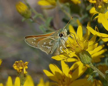 Common (Western) Banded Skipper