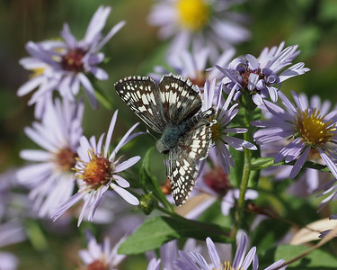 Common Checkered Skipper, male