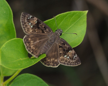 Horace's Duskywing, female