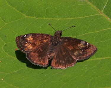 Wild Indigo Duskywing, female