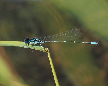 Skimming Bluet, male