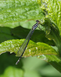 Skimming Bluet, female
