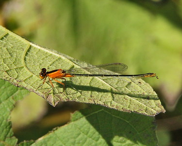 Rambur's Forktail, female