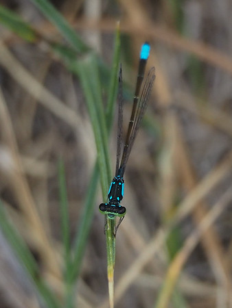 Plains Forktail, male