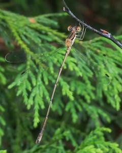 Slender Spreadwing, male