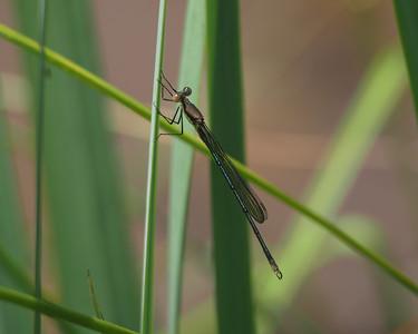 Swamp Spreadwing, male