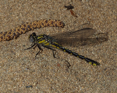 Spine-crowned Clubtail, female