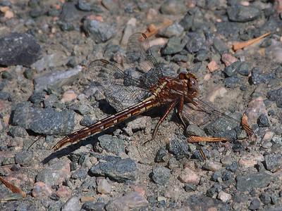 Ashy Clubtail, female