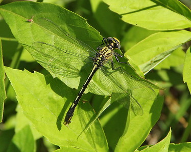 Unicorn Clubtail, female