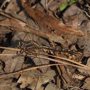 Ashy Clubtail, male