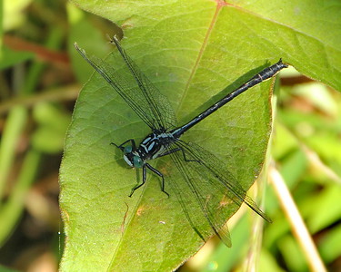 Sable Clubtail, male