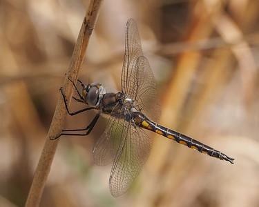 Common Baskettail, male
