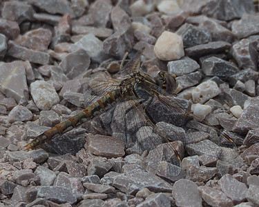 Variegated Meadowhawk, female