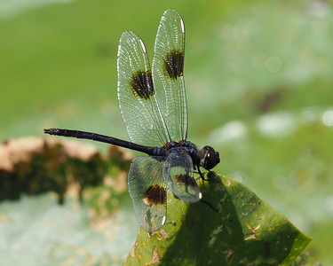 Four-spotted Pennant, male