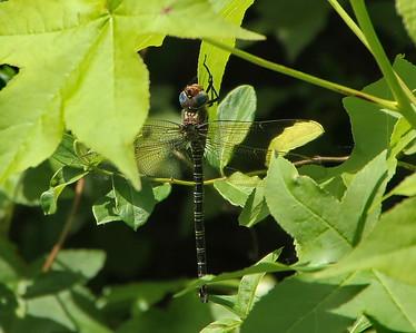 Swamp Darner, male