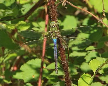 Green Darner, male