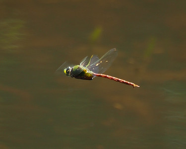 Commet Darner, male