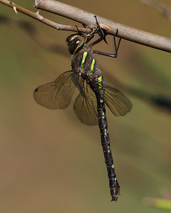 Shadow Darner, female