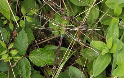 Green Darner, female
