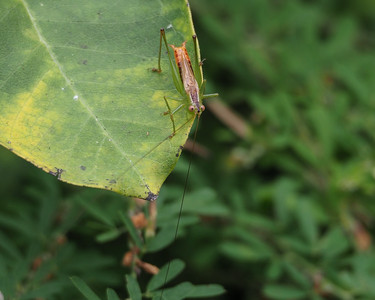 Straight-lanced Meadow Katydid, male