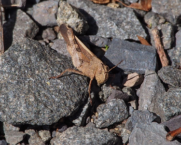 Sulphur-winged Grasshopper