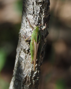 Northern Green-striped Grasshopper