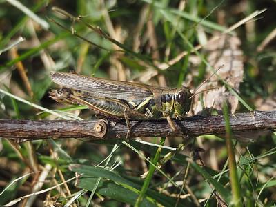 Red-legged Grasshopper