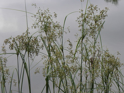 Barberpole Sedge