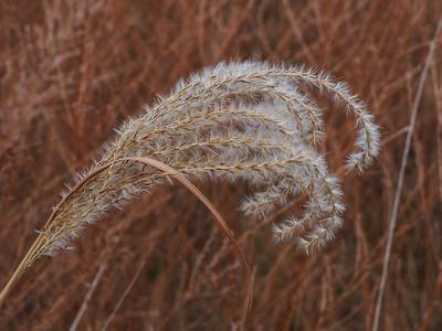 Chinese Silvergrass/Eulalia