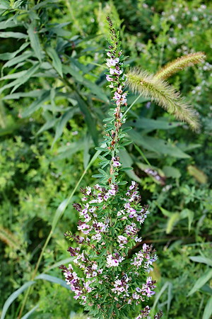 Chinese Bush Clover