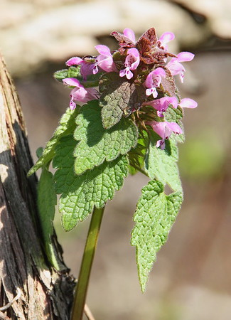 Red/Purple Dead-nettle