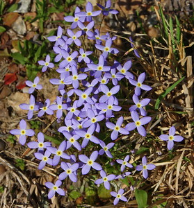 Bluets (Azure Bluet, Quaker ladies)