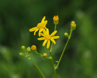 Appalachian Groundsel