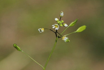 Whitlow-grass