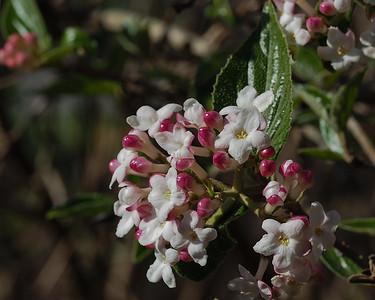 Viburnum species