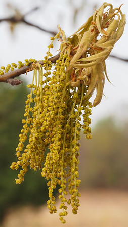 Box Elder, female flowers