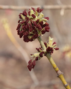 Box Elder, male flowers