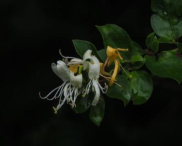 Japanese honeysuckle