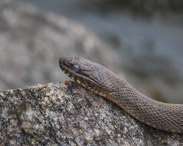 Northern Watersnake?
