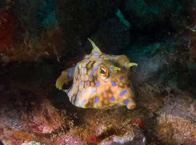 A Thornback cowfish (Lactoria fornasini) gives me a once-over.