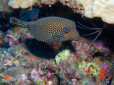 A female Spotted boxfish (Ostracion meleagris)...you can also see a hopeful Scarlet cleaner shrimp (Lysmata amboinensis) popping out at the top right.