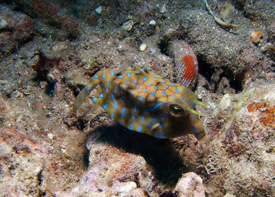 You know, Thornback cowfish (Lactoria fornasini) can't help their facial expressions--their bodies are completely rigid bone boxes--but every one I've ever seen seemed sullen and disapproving...